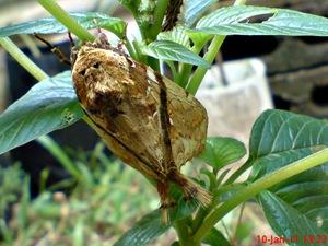 moth Dudusa vethi ngengat 08