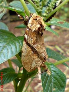 moth Dudusa vethi ngengat 04