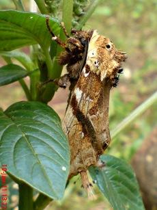 moth Dudusa vethi ngengat 07