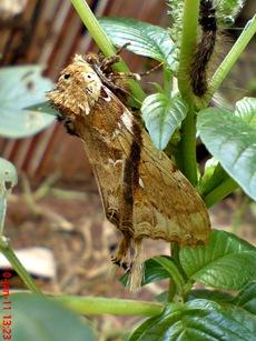 moth Dudusa vethi ngengat 09