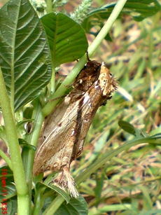 moth Dudusa vethi ngengat 18