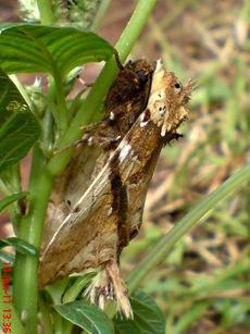 moth Dudusa vethi ngengat 19
