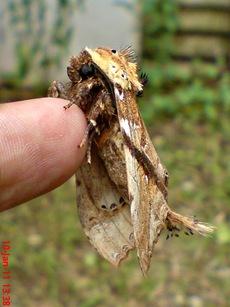 ngengat moth Dudusa vethi 03