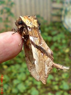 ngengat moth Dudusa vethi 13