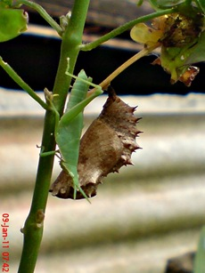 Common Eggfly Butterfly - Hypolimnas bolina - pupa 9