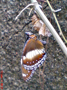 Common Eggfly Butterfly - Hypolimnas bolina - female 3