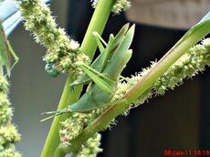 usaha pembajakan perkawinan belalang hijau 15