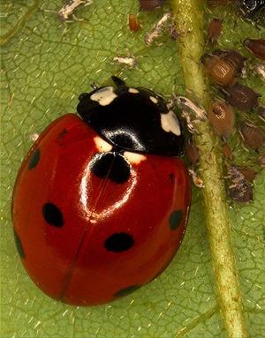 Seven-spotted ladybird - Coccinella septempunctata Linnaeus