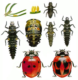 Seven-spotted ladybird life cycle
