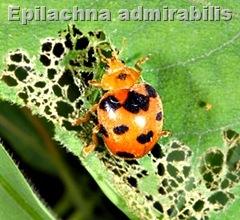 Epilachna admirabilis