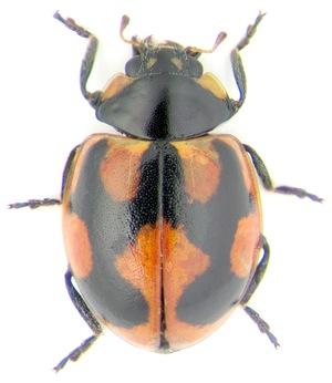 Coccinella hieroglyphica L. (Coccinellidae)