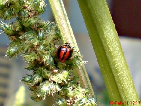 kumbang kepik kumbang koksi 02