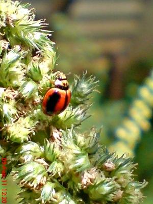 kumbang kepik kumbang koksi 06