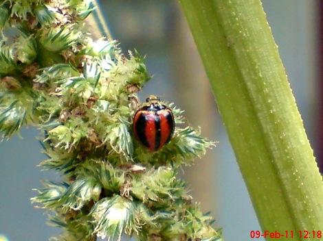 kumbang kepik kumbang koksi 04