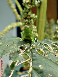belalang hijau Oxya chinensis 7