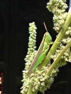 belalang hijau Oxya chinensis 3