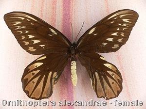 Ornithoptera_alexandrae_female
