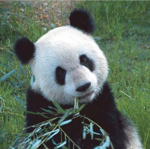 Bambusbär - Pandabär mit Bambus