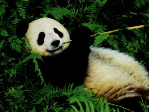 Bambusbär - Pandabär
