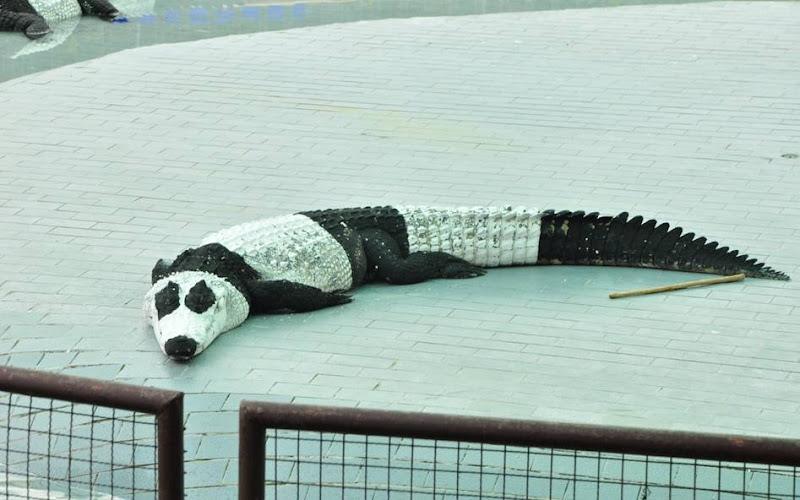 รูปภาพ หมีแพนด้า กระแสแพนด้าฟีเวอร์ รูปขำขำ หมีแพนด้า ลามถึงจระเข้แล้ว ฮากลิ้ง!!