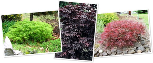 View NEW SHIPMENT OF JAPANESE MAPLES