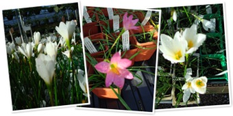 View rain lilies