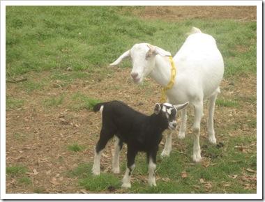 goats 019