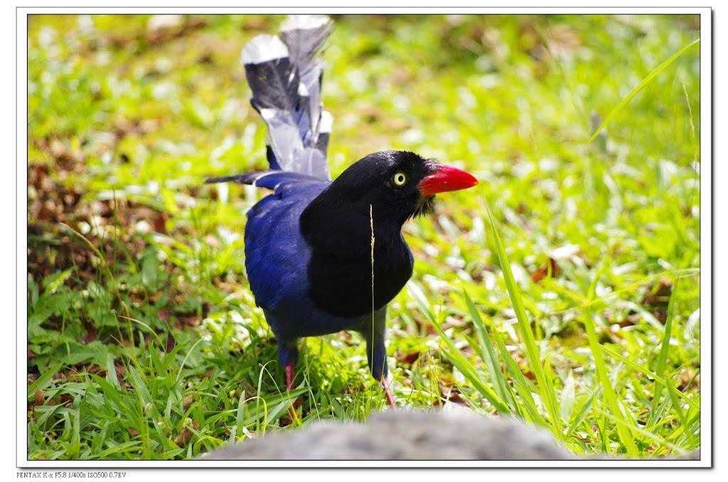 2010-06-09-陽明山前山公園-台灣藍鵲