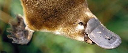 Platypus : Hewan petelur yang menyusui