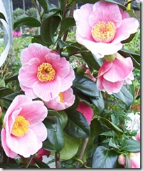 Plants for Presents Giant Camellia