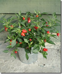 Plants for Presents Chilli Plant