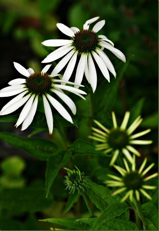 hvit echinacea
