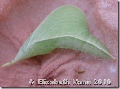 green chrysalis