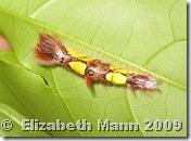 Morpho caterpillar