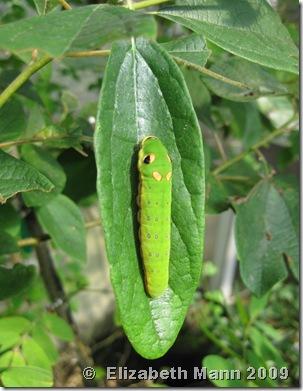 Spicebush Swallowtail origanal