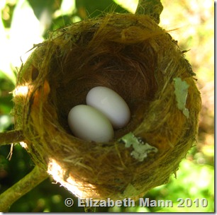 hummingbird eggs