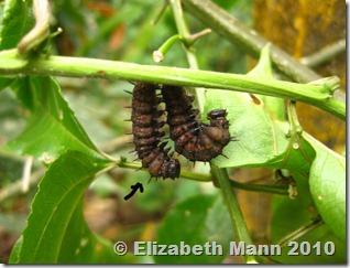 hanging caterpillars