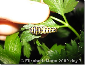 Black Swallowtail caterpillar 1 week old