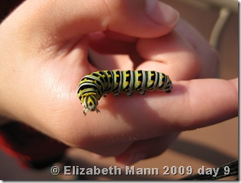 black swallowtail 9 days old