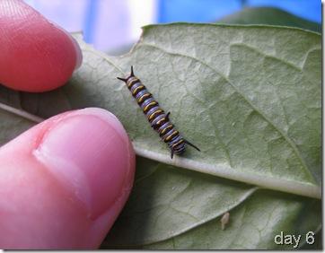 Queen caterpillar day 6