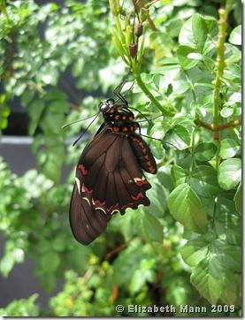 Polydamas Swallowtail (origanal)
