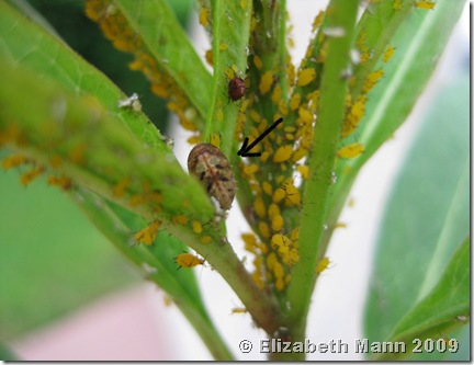 Hoverfly pupa in milkweed