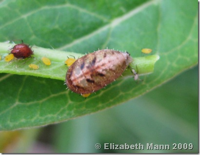 Hover Fly pupa (croped)