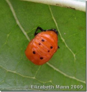 ladybug pupa for blog