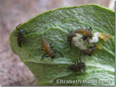 ladybug larvae hatched for book