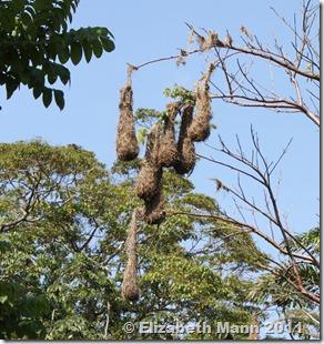 Orependola nest