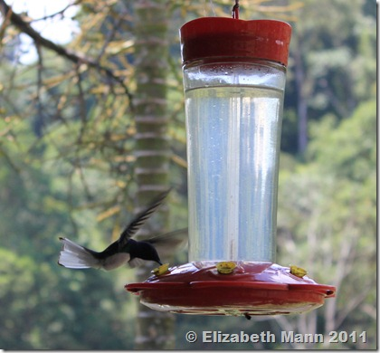 hummingbird sipping