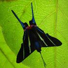 mariposa de colas azules