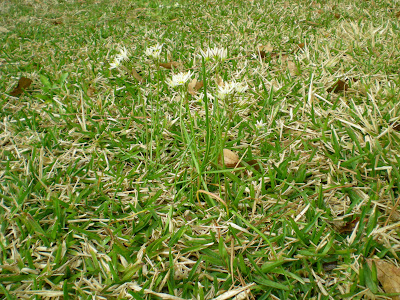 Tips for weed control and grass st augustine texags particularly annoying are the stalk like weeds with the white flowers on top mightylinksfo