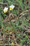 04-09 violka rolní